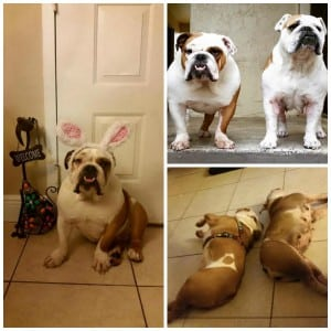 Courtesy Post - Bulldogs Bonded collage 10.27.15