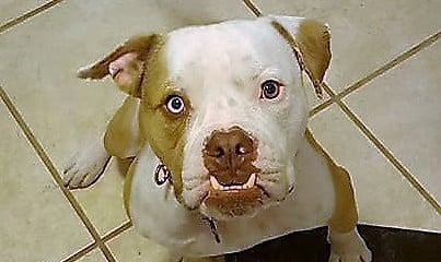 Albert is a 3 year old American Bulldog mix who needs a home.