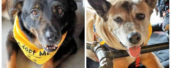 Hershey and Snickers are still with us and still waiting for their forever home together.