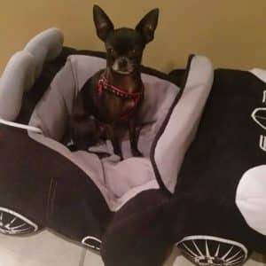 Tootie Chihuahua adopted