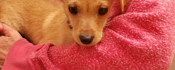 10 week old puppy Cashew all of 4 lbs that we took in parvo positive last week is doing well.