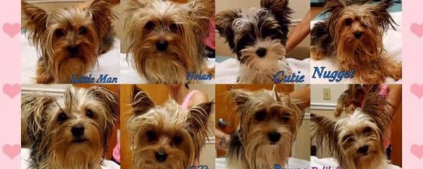 ATTENTION YORKIE FANS!!!