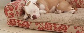 Albert is a 4 year old American Bulldog mix who needs a very special forever home.
