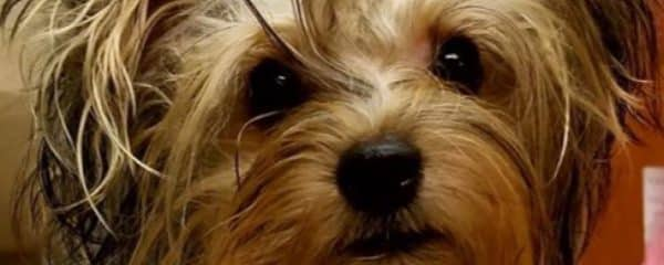 Update On The 14 Yorkies We Rescued 100 Abandoned Dogs Of