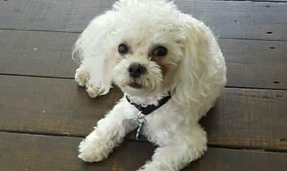 Buddy is a 10 months of age. 6 lbs of love & personality, maltese poodle mix.