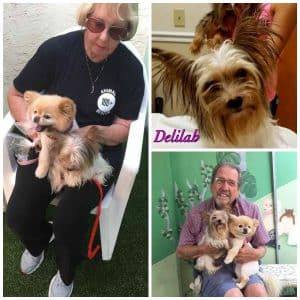 Delilah - 14 Yorkie Rescue adoption pending collage