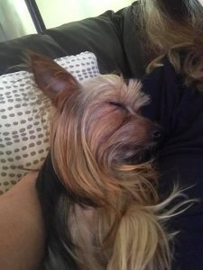 Giddy - 14 Yorkie Rescue adopted