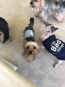 Giddy - 14 Yorkie Rescue adopted1
