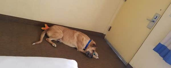 Mortimer was lucky to be taken to a local hotel for the night to enjoy some time out of the kennel.