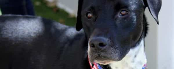 Queen ~ Female ~ Lab Mix~ approximately 4 yrs old.