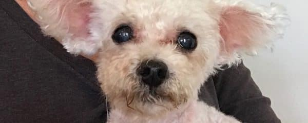 TicTac 5 lbs poodle/Maltese mix 6-8 yrs of age