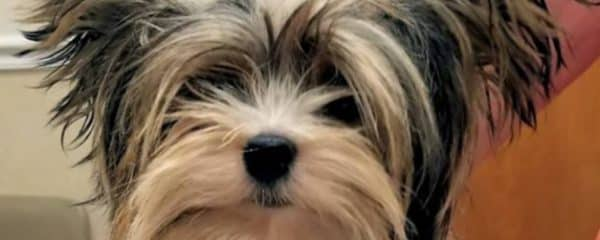 Two more of our yorkies Nugget and Troy are going HOME …