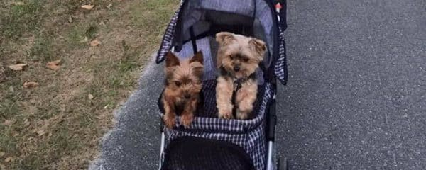 Waffle absolutely loves his walks in his stroller with his fur sister!!