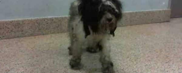 Another little one at the Miami Dade animal services kill shelter completely matted and neglected desperately needs our help.