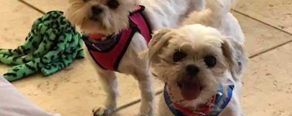 Bonded Brother and sister 5 yrs of age Gabby & Pebbles shihtzus