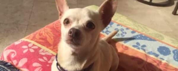 Sassy is an adult Chihuahua mix and is thriving in her foster home.