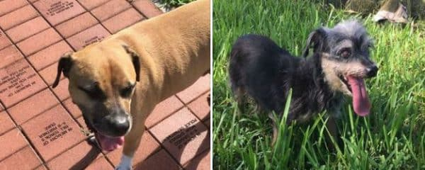 Courtesy Post – 2 dogs found Abandoned in a dog park Miami.