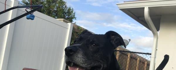 Kindred ~ female ~ Approximately 5 yrs old ~ 43 lbs.