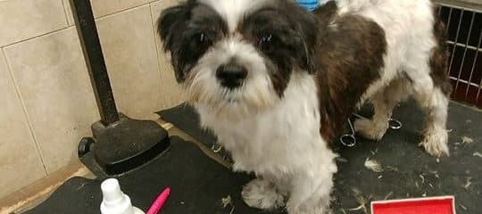 Little Berty a sweet female shihtzu is looking for a forever loving home.