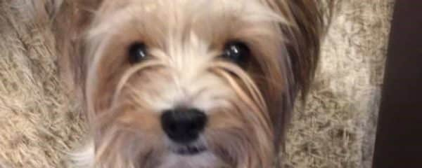 Miss Tiffany is another baby from our yorkie rescue doing amazing!!