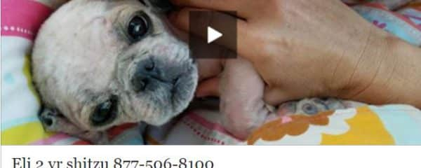Eli 2 yr male shihtzu rescued from the Miami-Dade Animal Services kill shelter