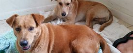 Adopt our bonded pair Ginger and Oliver, formerly Captain and Tennille