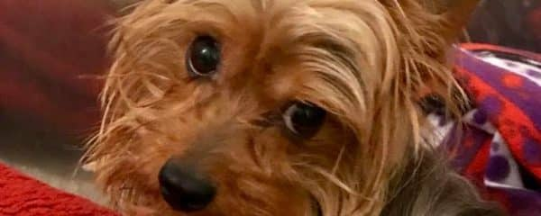 Royce 3 years male Yorkie  Available for adoption to the Perfect home.