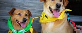Happy adoption day Oliver and ginger also known as Captain and Tennille.
