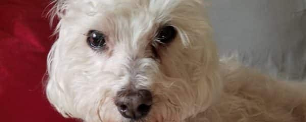 We couldn't Turn Away Sweet Robby male Bichon Maltese