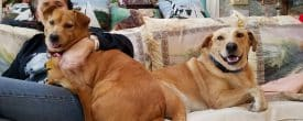 ADOPTED!! Oliver and Ginger also known as Captain and Tennille
