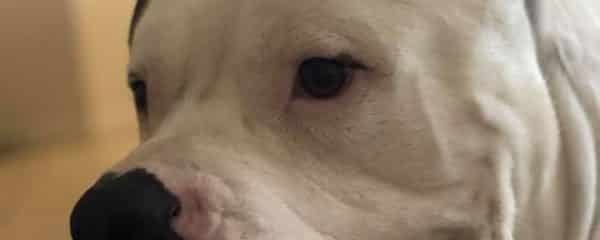 Blue 2 year American Bulldog 110 lbs of Love