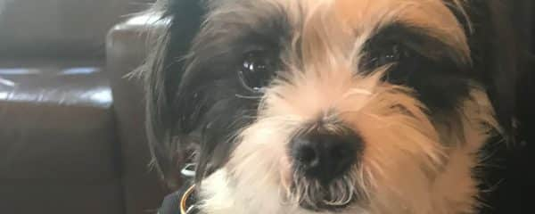 Chelsea 1 year under 10 lbs. Shihtzu terrier mix.