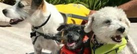 Our sweet Ashley having a Pool Party with her 2 brothers Toby & Max ( a 100 + Rescue)