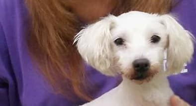 Ollie is 8 to 10 years of age Maltese…