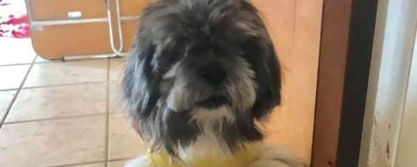 Jackie is a playful shih tzu girl