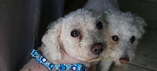 2 Bonded senior poodles …