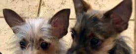 Monkey & Nugget two 5!!! Lb Yorkies are shaking & Trembling in boarding.
