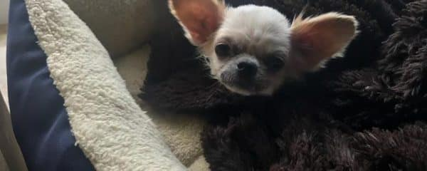 DAISY is a 2-3 year old long haired chihuahua…