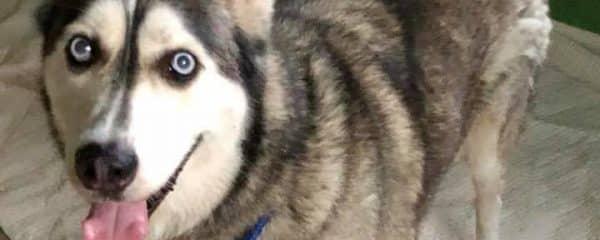 Our magnificent husky Dakota needs a forever home.