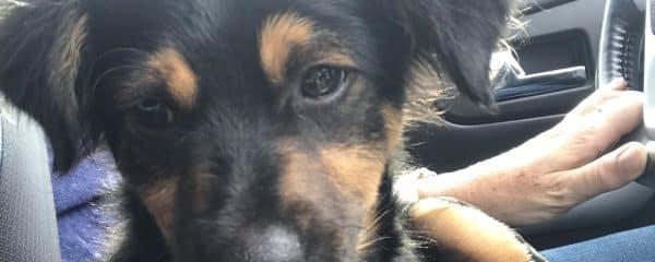 Just a puppy – Gunner needs a home…