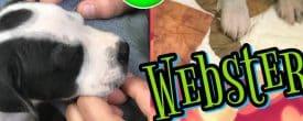 Puppy Webster