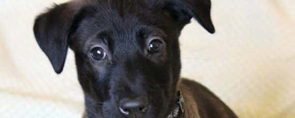 Gage is an 11 week old puppy, looking for his forever home.